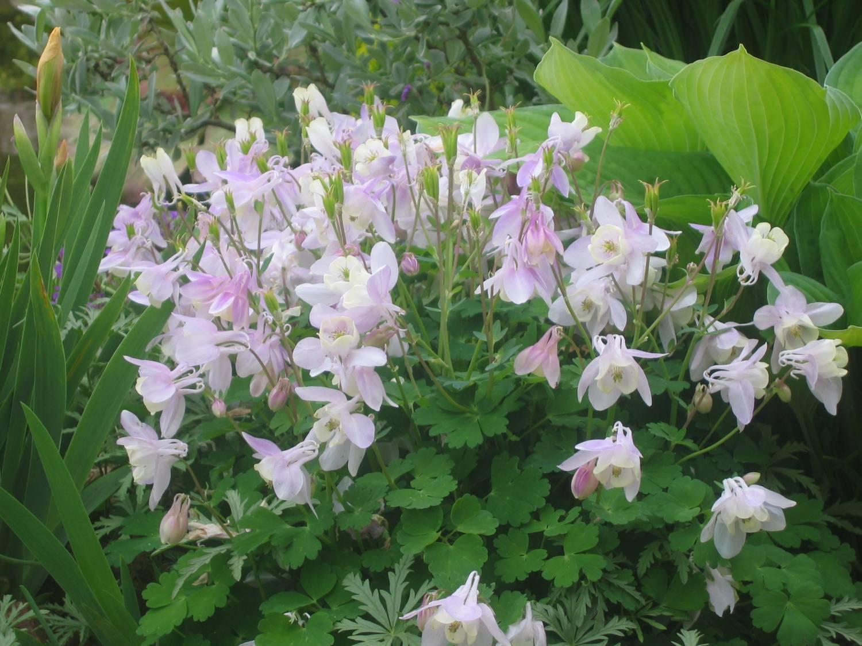 Колокольчик цветы виды фото и названия