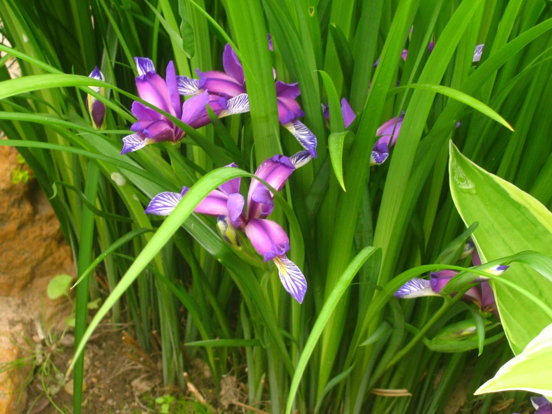 Ирис комнатные цветы фото