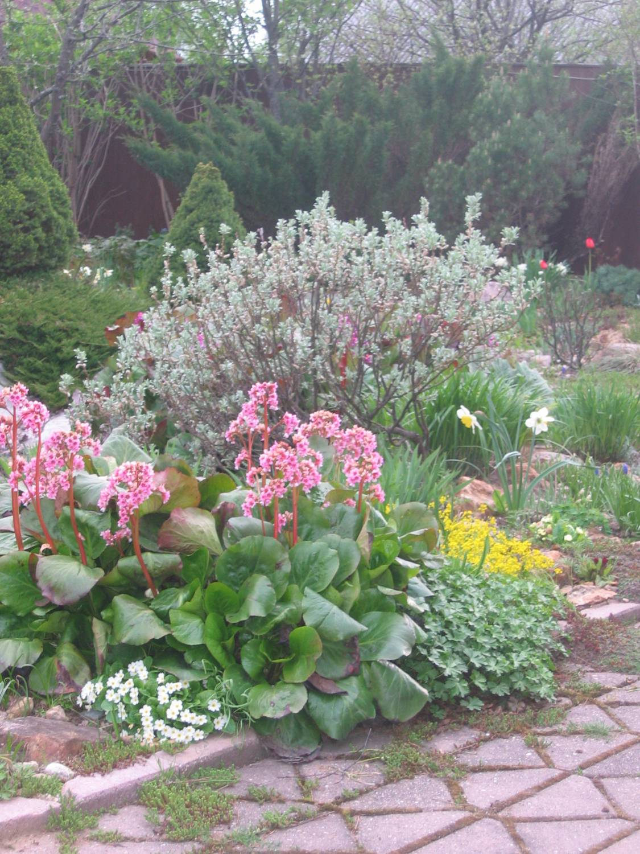 Цветы для сада фото бадан