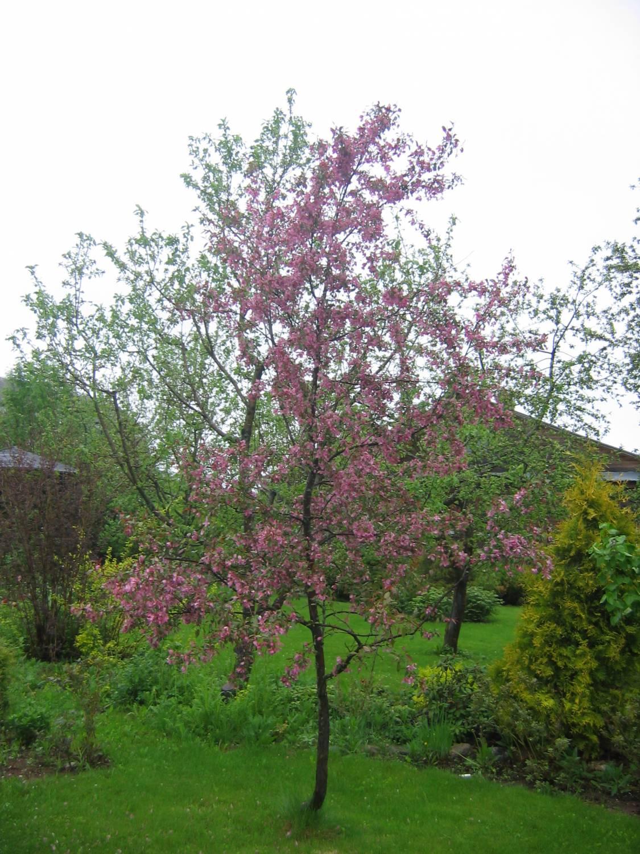 Фото планировка для яблони саженц 10 фотография